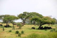 Elefants at Serengeti. Elephants at the Serengeti national park in Tanzania Royalty Free Stock Photo