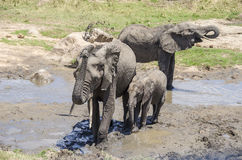 Elefants taking a mud bath Royalty Free Stock Photography
