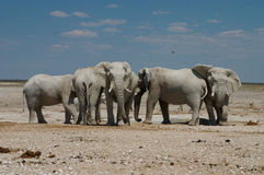 Elefants in Waterhole Stock Afbeelding