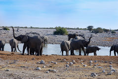 Elefants at waterhole Royalty Free Stock Images