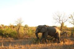 elefantsabisand Arkivfoto