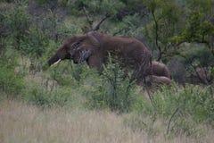 Elefantsafari royaltyfria bilder