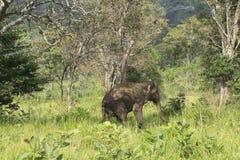 Elefantsafari i Polonnaruwa, Sri Lanka Arkivfoton