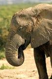 Elefantschlammbad stockfoto