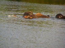 Elefantschwimmen im Fluss Lizenzfreie Stockbilder