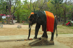 Elefantshow Arkivbilder