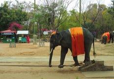 Elefantshow Arkivfoton