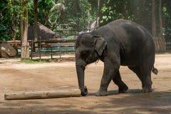 Elefantshow på den thailändska elefantbeskyddmitten Royaltyfri Fotografi