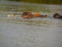 Elefantsimning i floden Royaltyfria Bilder