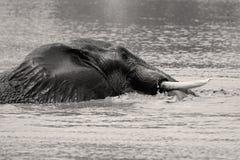 Elefantsimning i Sepia Royaltyfria Foton
