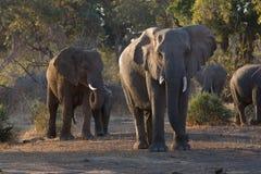 elefantskogflock Arkivfoto