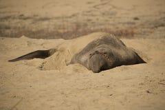 Elefantskyddsremsa Arkivbild