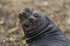 Elefantskyddsremsa, Patagonia, Argentina Fotografering för Bildbyråer