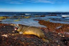 Elefantskyddsremsa som ligger i vattendammet, havet och mörker - blå himmel, djur i naturkustlivsmiljön, Falkland Islands Arkivbilder