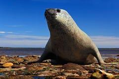 Elefantskyddsremsa som ligger i vattendammet, havet och mörker - blå himmel, djur i naturkustlivsmiljön, Falkland Islands Elefant Arkivbilder