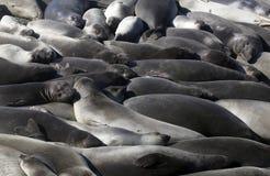 Elefantskyddsremsor, Kalifornien kust Fotografering för Bildbyråer