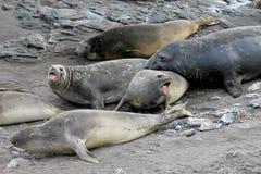 Elefantskyddsremsor, Mirounga Leonina, Antarktis Royaltyfria Bilder