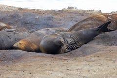 Elefantskyddsremsor, Mirounga Leonina, Antarktis Royaltyfri Fotografi