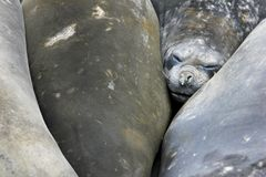 Elefantskyddsremsor, Mirounga Leonina, Antarktis Royaltyfri Foto