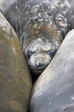Elefantskyddsremsor, Mirounga Leonina, Antarktis Royaltyfria Foton