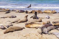Elefantskyddsremsor på stranden nära San Simeon, Kalifornien Fotografering för Bildbyråer