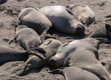 Elefantskyddsremsor som kopplar av på stranden Fotografering för Bildbyråer