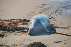Elefantskyddsremsor som lägger på stranden som solbadar i USA Arkivbilder