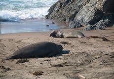 Elefantskyddsremsor som lägger på stranden som solbadar i USA Arkivfoton