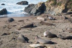 Elefantskyddsremsor som lägger på stranden som solbadar i USA Royaltyfria Foton