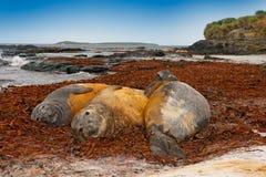 Elefantskyddsremsor som ligger i vattendammet, havet och mörker - blå himmel, djur i naturkustlivsmiljön, Falkland Islands Stora  Fotografering för Bildbyråer