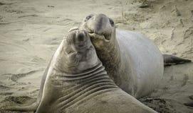Elefantskyddsremsor som slåss på stranden Royaltyfri Fotografi
