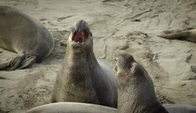 Elefantskyddsremsor som slåss på stranden Royaltyfria Bilder