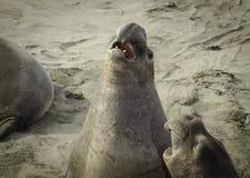 Elefantskyddsremsor som slåss på stranden Royaltyfria Foton