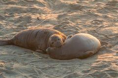 Elefantskyddsremsor som vilar på stranden Arkivfoto