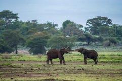 Elefantspiele in der Savannenwiese bei Aboseli parken in Keny Lizenzfreie Stockfotos