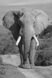 elefantstående Fotografering för Bildbyråer