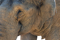 elefantstående Arkivfoto