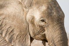 elefantstående royaltyfri bild