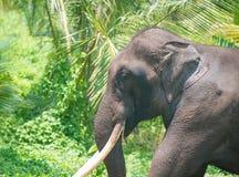 Elefantstående med stora beten i djungel Arkivfoton