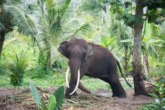 Elefantstående med stora beten i djungel Royaltyfri Fotografi