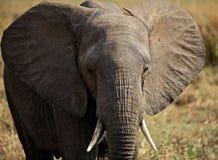 elefantstående tanzania Royaltyfri Fotografi