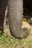 Elefantstam Royaltyfria Bilder