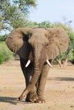 Elefantstier stockbild