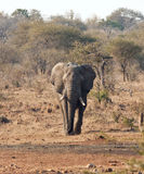 Elefantstier mit dem großen Stoßzahnnähern Stockbild