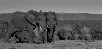 Elefantstiere, die ein waterhole in Addo Elephant Park lassen Stockbilder