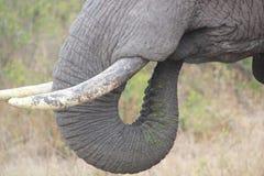 Elefantstoßzähne Lizenzfreies Stockbild