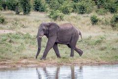 Elefanttjur på en waterhole Arkivbild