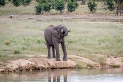 Elefanttjur på en waterhole Fotografering för Bildbyråer