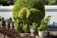 Elefantträd ett litet bladträd kan tvinga till någon form, mycket po Fotografering för Bildbyråer