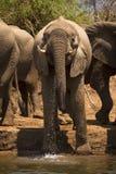 Elefanttrinken lizenzfreie stockfotografie